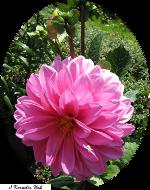 Dahlie-pink-150