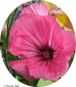 Malve-pink150