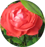 Rose-150