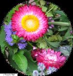 Strohblume150